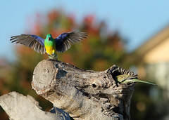 Red-rumped Parrot (NathanaelBC) Tags: lake bird water pond native australia canberra wetland cbr