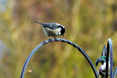 Coal Tit (marieamos79) Tags: tit coal