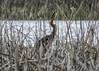 Garza imperial ( Ardea purpurea) (Esmerejon) Tags: naturaleza aves palencia migrantes fuentesdenava lagunasdelanava 24042016 garzaimperialardeapurpureaenlaslagunasdelanava