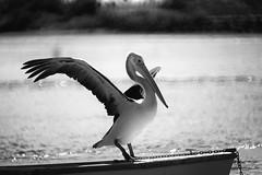 A Pelican Dance (Ptolemy the Cat) Tags: blackandwhite bw bird monochrome lens george seaside waterbird pelican queenscliff nikond600 nikonf8500mmreflexlens