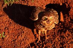 """oh my owl"" (RegiCardoso) Tags: bird look birds animal pssaro owl coruja onmyown"
