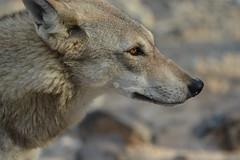 Arabian Wolf @ Al Hefaiyah Mountain Conservation Centre, Sharjah, UAE (Ma3eN) Tags: animal wolf uae arabian sharjah 2016 hefaiyah