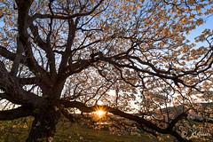 Spring Sunrise (jkwidds) Tags: sunrise spring flowering blooms middlecreek sunstar