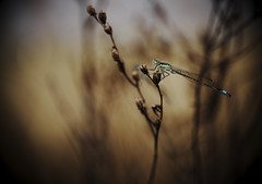 _DSF8063 (Evren Unal Photography) Tags: camera summer plant color macro green colors field grass animal closeup zeiss bug insect spring dof dragonfly bokeh outdoor ngc deep fujifilm fujinon depth carlzeiss beatifull touit touit2850m touitseries