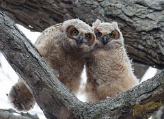 Owlets 4_25 (krisinct- Thanks for 12 Million views!) Tags: canon mark ii 7d 500 f4