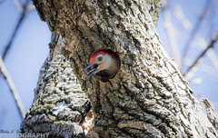 Red Bellied Woodpecker Doing A Bit Of House Work! (Ricky L. Jones Photography) Tags: bird nature birds wisconsin canon woodpecker midwest wildlife birding birdwatching citypark naturephotography birdphotography wildlifephotography teamcanon