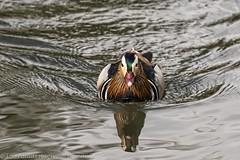 Canard Mandarin - Mandarin duck (dom67150) Tags: bird animal duck mandarinduck oiseau canard aixgalericulata canardmandarin naturethroughthelens