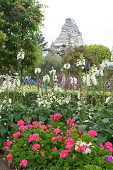 Flowers and Matterhorn in Disneyland (GMLSKIS) Tags: disney california amusementpark anaheim disneyland flowers matterhorn