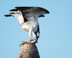 Fish Dinner (Bill McBride Photography) Tags: bird nature canon eos florida wildlife melbourne wetlands april fl osprey avian pandionhaliaetus fisheagle fishhawk seahawk viera 2016 70d ef100400l ritchgrissommemorial