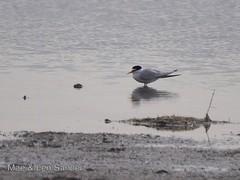 eastern_camargue 7 (lensander2015) Tags: birds gulls terns
