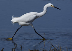 Snowy egret on the prowl (labtrout) Tags: nature birds snowy wildlife egret hammonasset