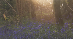 Come sweep me to places elsewhere (windermereimages1) Tags: flowers trees sun film wet rain spring woods dream bluebell shimmer aprilshowers