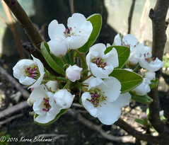 April 27th, 2016 Pear Blossom (karenblakeman) Tags: uk flowers garden april caversham 2016 cavershamgarden 2016pad