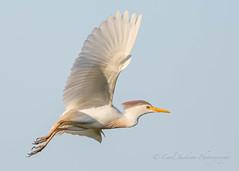 Cattle Egret (cbjphoto) Tags: bird photography inflight texas cattle egret avian carljackson