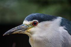 Night Heron (alexanderfriedrich89) Tags: heron canon zoo reiher nachtreiher 700d