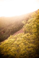 (anto291) Tags: mimosa esterel picducaproux roccerosse
