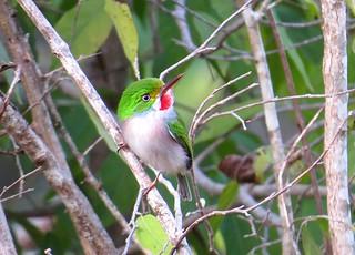 Cuban Tody_Todus multicolor