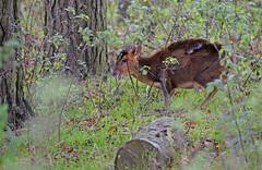 Expecting (Wildlife Online) Tags: animal mammal wildlife bedfordshire deer whipsnadezoo muntjac cervidae barkingdeer muntjacdeer muntiacus muntiacusreevesi reevesmuntjacdeer britishdeer ukdeer marcbaldwin wildlifeonline introduceddeer invasivedeer