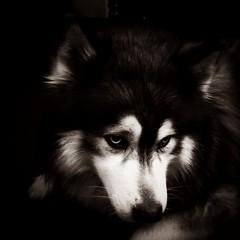 Norman (garrettc) Tags: bw dog norman huskie notmydog