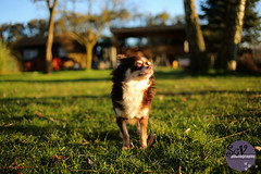5|52 weeks of Tartuffe - Blissful morning (sgv cats and dogs) Tags: morning light chihuahua smell bliss 52weeksfordogs