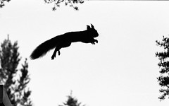 Squirrel in the air (Andersbirds) Tags: pine fly jump squirrel sweden tall ekorre squirel lule squir