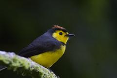 Myioborus torquatus / Collared Redstart (LeShello) Tags: myioborustorquatus costarica cerrodantas collaredredstart