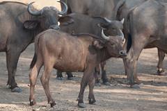 SK7_6200 (glidergoth) Tags: park south safari national zambia waterbuffalo luangwa mfuwe bubalusbubalis