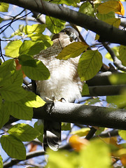 Cooper's Hawk (Redtail10025) Tags: park nyc red wild urban birds hawk wildlife tail central raptor redtailed ramble birdsofprey