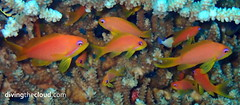 Anthias - Antias (divingthecloud) Tags: sea fish pez macro coral mar underwater diving reef maldives buceo arrecife anthias maldivas fotosub bajoelagua antias