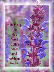 Hren&befolgen / hear and obey (Martin Volpert) Tags: flower fleur jesus flor pflanze blomma christianity blume fiore blte blomster virg christus lore bloem blm iek floro kwiat flos ciuri plantaginaceae kvet kukka cvijet flouer glauben christentum blth cvet zieds is floare  blome iedas bibelverskarte wegerichgewchse mavo43 veronicaaustriaca sterreichischerehrenpreis lukasluke1128
