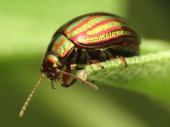 Rosemary Beetle (treegrow) Tags: nature insect spain beetle arthropoda coleoptera chrysomelidae chrysolinaamericana lifeonearth raynoxdcr250 canonspeedlite430exii taxonomy:binomial=chrysolinaamericana canonpowershotsx40hs