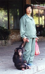 Woman with juvenile chimpanzee, Xiangjiang Safari Park, China (Animal People Forum) Tags: china woman animals person chimp human ape chimpanzee captive mammals juvenile primate captivity greatape xiangjiangsafaripark