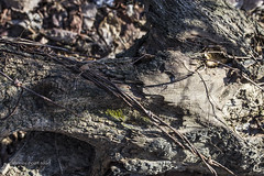 """Final Grasp - Barbed Wire (...""""The Old Retired Guy"""") Tags: nature wire fallen stump barbed grasp"""