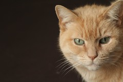 That Certain Look (No Great Hurry) Tags: red portrait pet look animal blackbackground cat canon ginger eyes feline dof depthoffield whiskers serene 550d robinbarr nogreathurry robinmauricebarr