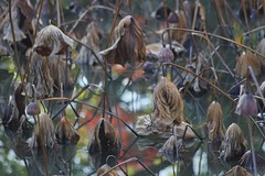 -1 (nobuflickr) Tags: nature japan kyoto autumncolors momiji     nelumbonucifera tohukujitemple  sacredwaterlotus  20151209dsc04785
