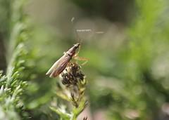Heteroptera - Nabidae - Sichelwanze (Phil Arachno) Tags: germany hessen deu arthropoda insecta hemiptera eppstein hexapoda heteroptera nabidae eppsetin