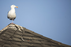 Perched upon poop peak (Carbon Arc) Tags: ocean california roof light bird coast pacific sandiego seagull gull shingles peak lajolla scat pole poop shit western poo guano seabird dung excrement laridae larusoccidentalis