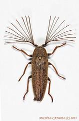 Callirhipidae - Railay - THAILANDE (michel-candel) Tags: thailande railay callirhipidae