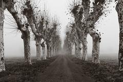 Untitled (Cava AL) Tags: bw white black fog alberi bn nebbia bianco nero monocrome viale 2015 em10 riccardocavallaro