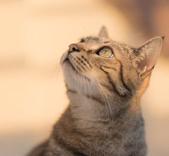 Observing (infinitum Photography & Video Production) Tags: cat grey gris nikon chat grigio tabby 85mm gato d750 katze gatto minou shallowdepthoffield infinitum bidule tigr tigrato grigi infinitumstudio