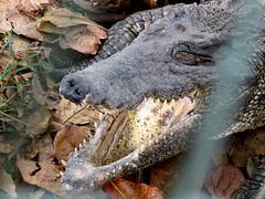 Cuban Crocodile (Criadero de Cocodrilos) (stinkenroboter) Tags: cuba herp crocodilefarm cubancrocodile crocodylusrhombifer criaderodecocodrilos