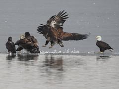 Eagle confrontation (kansaskoan) Tags: favorites miscellaneous