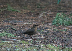 20160116-30_Coombe Country Park_Songbird Camouflage (gary.hadden) Tags: birds songbird coombeabbey coombecountrypark coombepark
