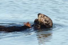 Southern Sea Otter (Enhydra lutris nereis) DDZ_5100 (NDomer73) Tags: mammal december best otter prey seaotter better elkhornslough 2015 californiaseaotter southernseaotter 17december2015