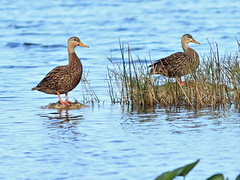 Mottled Ducks one banded 20160211 (Kenneth Cole Schneider) Tags: florida miramar westbrowardwca