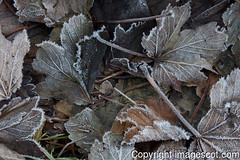 frosted leaves 01 (imagescotdotcom) Tags: winter urban cold nature scotland belt frost december central scottish lothians midlothian