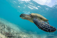 Right Angle (Waubble) Tags: ocean animal hawaii underwater pacific turtle discovery 500px ifttt