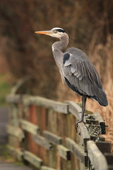 IMG_4292 (TMM Cotter) Tags: blue lake bird heron nature swan bc great victoria ardea boardwalk sanctuary herodias