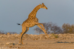 Etosha Giraffes 2 (Duncan Blackburn) Tags: nature mammal nikon wildlife ngc npc giraffe namibia etosha namutoni 2013