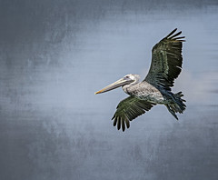 Pelican Flight (Carolyn Marshall Photography) Tags: sky pelicans nature birds animals fauna photography flying wings colorful wildlife feathers pelican marshall birdsinflight nautical waterfowl seabirds audubon bigbirds flyingbirds saltwaterbirds floridapelicans fineartphotographer floridanaturephotographers floridaphotographers carolynmarshall longbeakedbirds tampaphotographers carolynmarshallphotography tampanaturephotographers